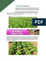 Cultivo de Espinaca