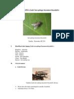 Tugas Lalat Daging (Sarcophaga)