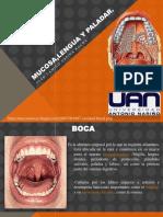 Mucosa,Lengua y Paladar Jcor (1)