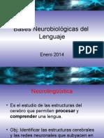 4 Bases Neurobiol Gicas Del Lenguaje