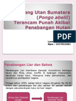 Orang Utan Sumatera (Pongo Abelii)