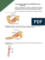 Clasificación de Los Músculos Según Los Movimientos Que Realizan