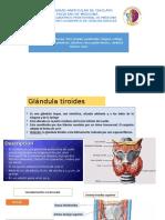 ANATOMIA GLANDULAS PROFUNDASppt (TIMO,TIROIDES,PARATIROIDES....)