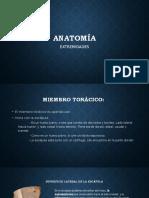 Anatomí- Extremidad toráxcica