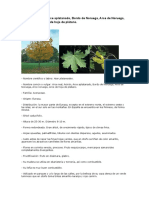 Acer Platanoides (Arce Real)