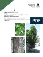 Columnar English Oak, Quercus robur 'Fastigiata - Delaware Center for Horticulture