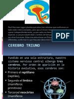 cerebrotriuno-120419131553-phpapp01.pptx