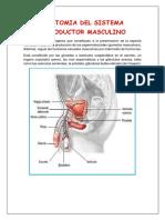 Anatomia Del Sistema Reproductor Masculino Trabajo Original (1)