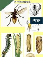 Hymenoptera, Generalidaes, Clasificacion