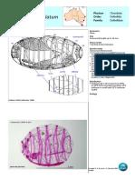 Doliolum Denticulatum Updated