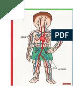 Sistema Circulatorio Dibujo