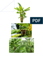 Banana Tree Images