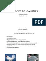 Especies de Gallinas