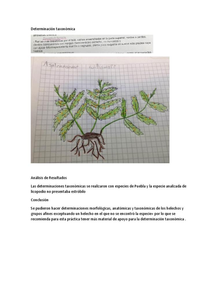 Determinación taxonómica