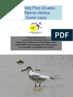 Gaviota Pico Grueso Sterna nilotica
