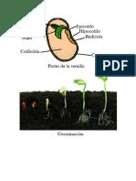 Partes de la semilla.docx