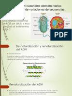 El ADN Eucarionte Contiene Varias Clases de Variaciones
