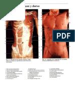 01 Musculos de Las Paredes Toracicas y Abdominal