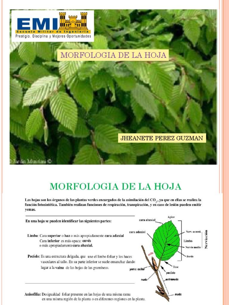 Morfologia De La Hoja