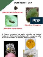 Hemiptera - Auche