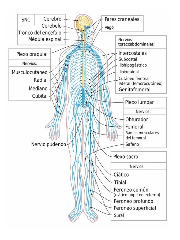 Lujoso Nervios En El Diagrama De Piernas Componente - Imágenes de ...