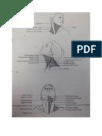 NBDE PArt 1 Muscles