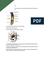 Diafragma y Cavidad Torácica