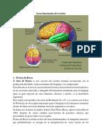 Áreas Funcionales Del Cerebro 2