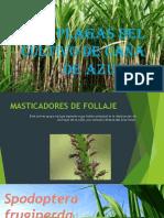 3 Clase de Entomologia Aplicada_caña de Azuc