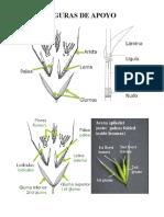 Figuras de Apoyo de Poaceae