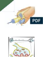 Structura Nervului Si Sinapsa