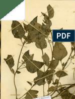 Solanum Lillo001