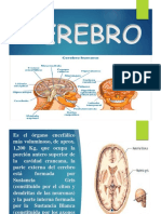 Diapositivas Cerebro Cerebelo y Medula Espinal