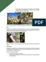 Phytophthora cinnamomi.docx