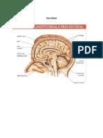 Encefalul-cerebelul-diencefalul