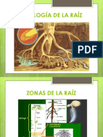 Morfologia de Raiz y Tallo.pptx