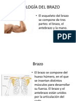 Fisiología Del Brazo