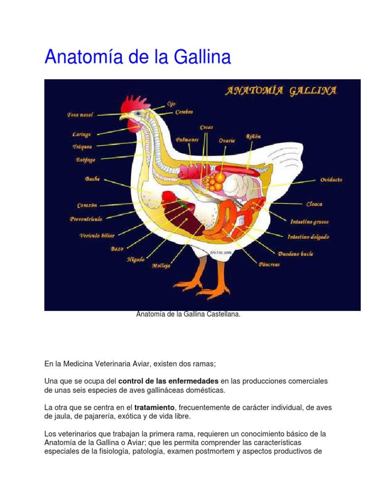 Atractivo Anatomía De La Gallina Colección - Imágenes de Anatomía ...
