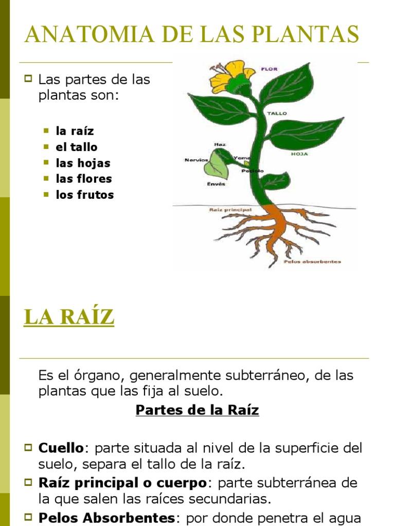 Perfecto Definir Anatomía De La Planta Imágenes - Imágenes de ...