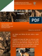 La Evolución Del Tigre de Bengala