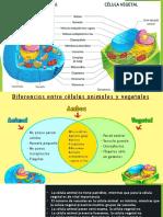 Celula Anial y Vegetal