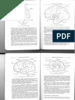Anatomía Básica Del Cerebro-2a Parte