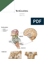 0324 Brainstem (1)