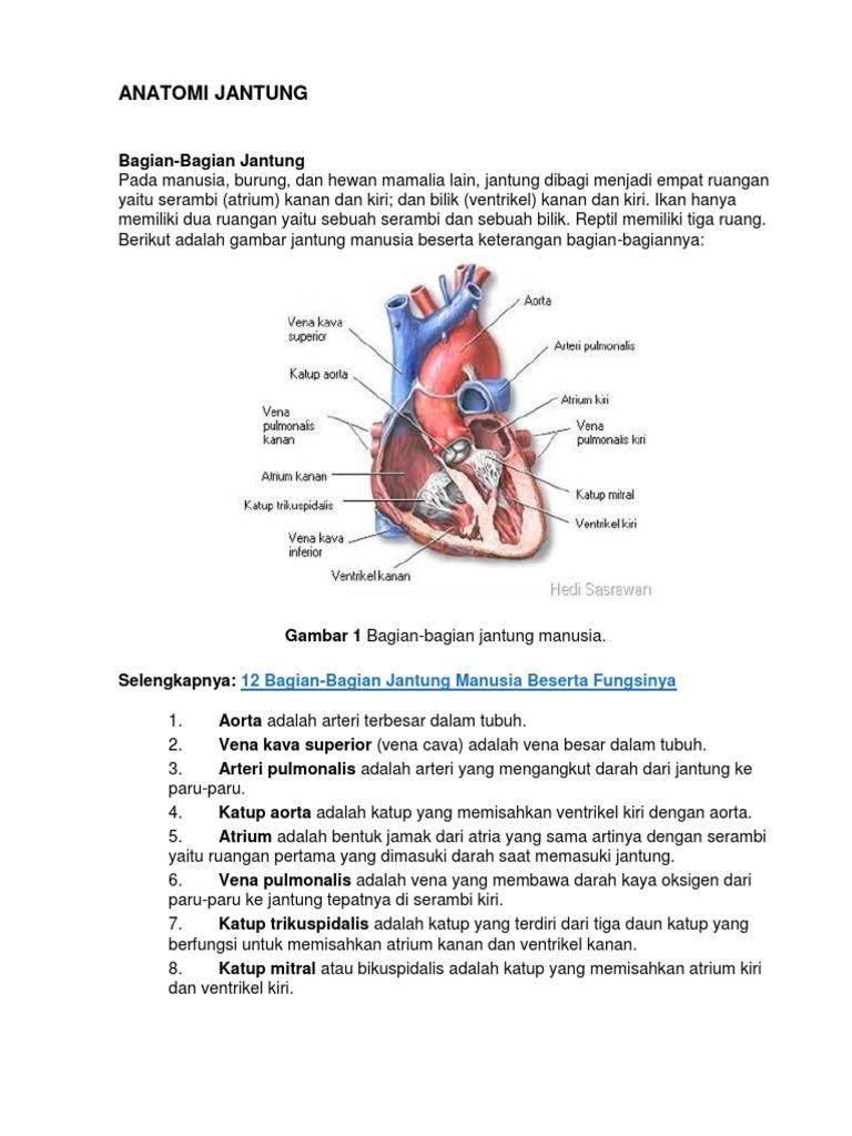 Gambar Struktur Jantung Dan Keterangannya