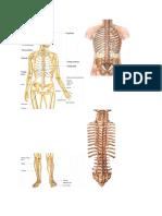 Anatomi Gambar Rangka Dan Otot