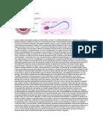 Cómo Se Produce La Fecundación Humanala Fusión Entre El Óvulo y El Espermatozoide