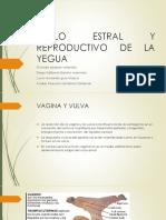Ciclo Estral y Reproductivo de La Yegua