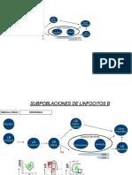 Linfocito B Ontogenia