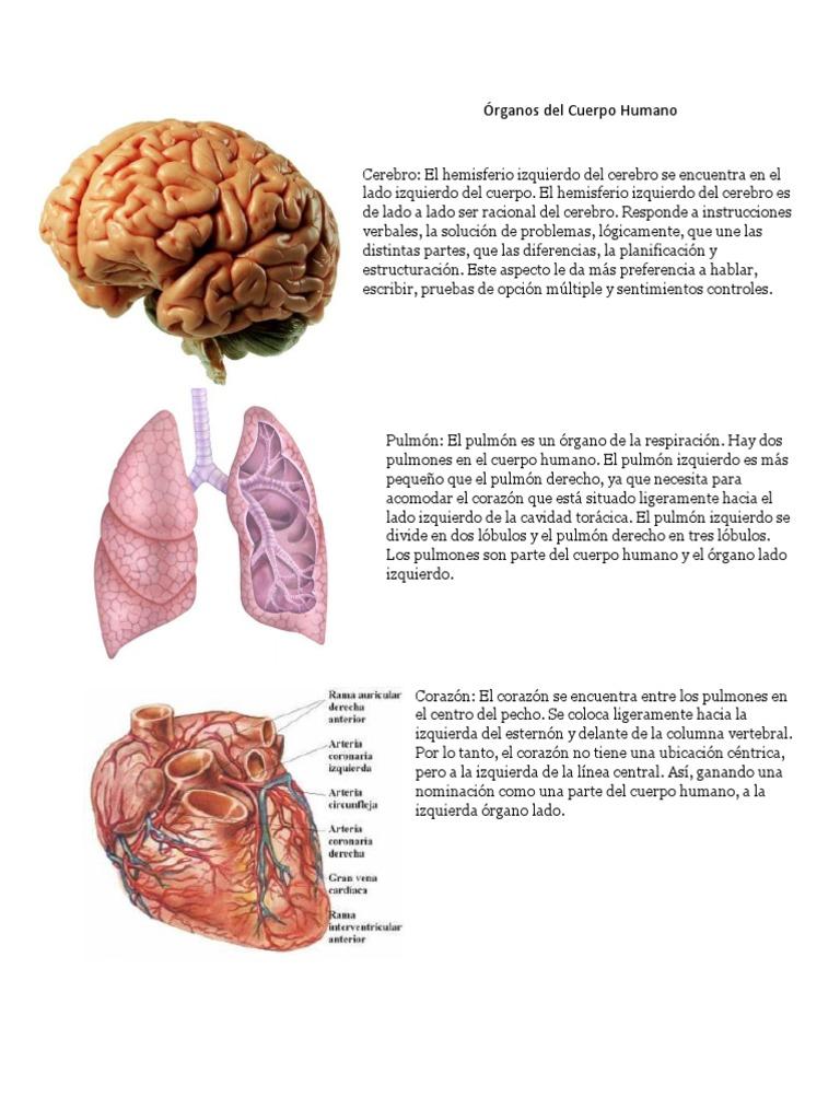 Famoso órganos Humanos Lado Izquierdo Ilustración - Anatomía de Las ...