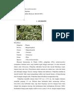 Pilea melostomoides